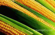 Объявление Куплю кукурузу в Республике Адыгее