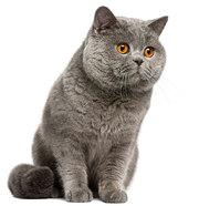 Объявление Продаем Британских кошек в Москве и Московской области