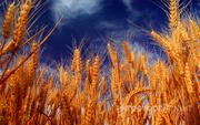 Объявление Семена озимой пшеницы  Лилит, Капризуля, Изюминка, Донская Юбилейная, Краса Дона. в Краснодарском крае