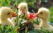 Объявление Суточная и подрощенная птица в Алтайском крае