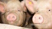Объявление Продаем свиней в Краснодарском крае