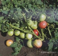 Объявление Семена томата Демидов, Василина в Алтайском крае