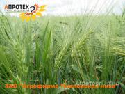 Объявление Семена ячменя в Воронежской области