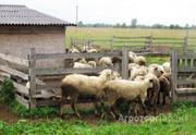 Объявление Продаю овец в Республике Дагестан