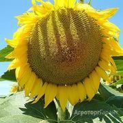 Объявление Продаю семена подсолнечника сорт Азовский РС 1 в Ростовской области