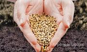Объявление Семена пшеницы, ячменя, овса в Новосибирской области