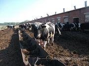 Объявление Нетели и коровы черно-пестрой породы в Республике Татарстан