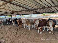 Объявление Продам бычков мясных пород в Республике Башкортостан