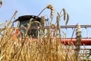 Объявление Услуги по уборке урожая комбайном в Алтайском крае