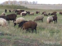 Объявление Овцы 280 голов. в Алтайском крае