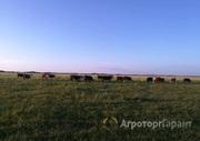 Объявление КРС: бычки герефорды в Алтайском крае
