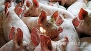 Объявление Продаем свиней живым весом в Кировской области