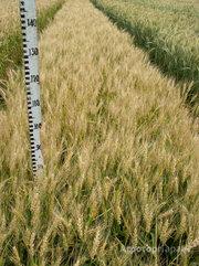 Объявление Семена озимой пшеницы  сорт Гурт ЭС в Ростовской области