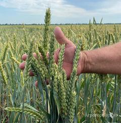 Объявление Семена пшеницы озимой сорта КНИИСХ в Краснодарском крае