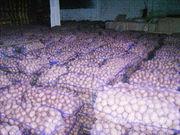Объявление Картофель оптом 5+ от производителя 9р/кг. в Краснодарском крае