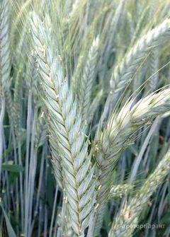 Объявление Семена озимой тритикале сорт Хлебороб и Тихон в Ростовской области