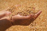 Объявление Пшеница 5 класса в Краснодарском крае