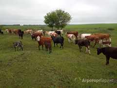 Объявление Продаются коровы в Тамбовской области