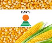 Объявление семена кукурузы KWS в Белгородской области