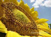 Объявление Продаю семена подсолнечника сорт Казачий РС 1 в Ростовской области