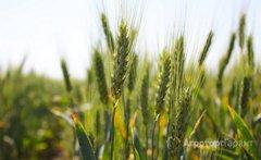 Объявление НОВИНКА! Семена озимой пшеницы Собербаш ЭС в Ростовской области