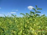 Объявление Семена нута в Воронежской области