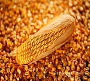 Объявление Реализуем оптовую закупку кукурузы в Республике Крым
