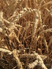 Объявление Семена озимой мягкой пшеница сорт Лилит ЭС/РС1/РС2 в Ростовской области