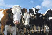 Объявление Закупаем КРС (крупно рогатый скот) живым весом в Республике Татарстан