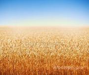 Объявление Закупаем пшеницу, ячмень, подсолнечник в Ростовской области