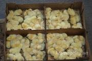 Объявление Поспелихинский инкубатор предлагает суточную и подрощенную птицу в Алтайском крае