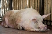 Объявление Куплю  свиней Хряков. в Ульяновской области