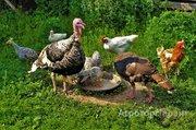 Объявление Реализуем цыплят, утят, молодняк птицы в Алтайском крае