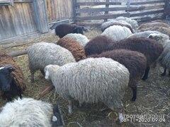 Объявление Мясо баранины в Алтайском крае