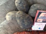 Объявление Картофель продовольственный и семенной в Алтайском крае