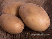 Объявление Картофель Вектор оптом от 20 тонн в Нижегородской области