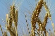 Объявление Продаю пшеницу и ячмень в Самарской области