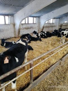 Объявление Приобретём товарных коров и нетелей в Республике Татарстан