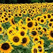 Объявление Продаю семена подсолнечника  сорт Лакомка РС  1 в Ростовской области