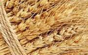 Объявление Семена пшеницы, овса, ячменя от ОАО «Северо-Кулундинское» в Новосибирской области