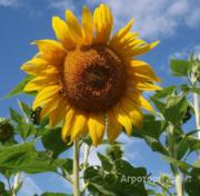 Объявление Семена подсолнечника сорт Умник РС1 в Ростовской области