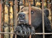 Объявление Купить медведя вы можете у нас в Пермском крае