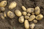 Объявление Картофель сорт Винета в Нижегородской области