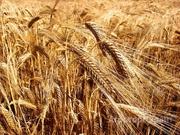Объявление Семена ярового ячменя сорт Леон РС1,РС2 в Ростовской области