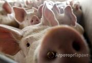Продаю Ищу инвестора! Свиноводческая ферма в Алтайском крае