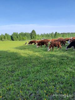 Объявление Телята, бычки, нетели, коровы породы Герефорд в Свердловской области
