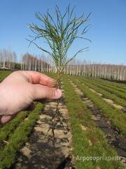Объявление Сеянцы сосны, ели, лиственницы,кедра в Челябинской области