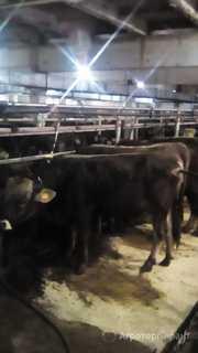 Объявление Продам бычков породы Герефорд на откорм в Тверской области