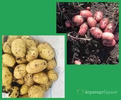 Объявление Картофель оптом от фермеров Краснодарского края в Краснодарском крае