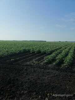 Объявление картофель семена 17.00 руб в Свердловской области